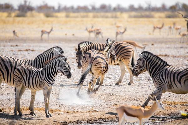 voyage afrique zebres