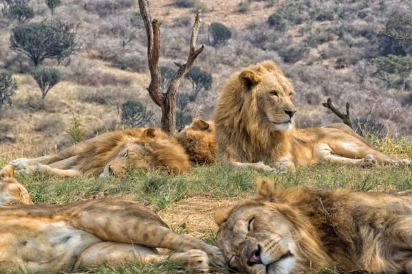 voyage afrique du sud lions