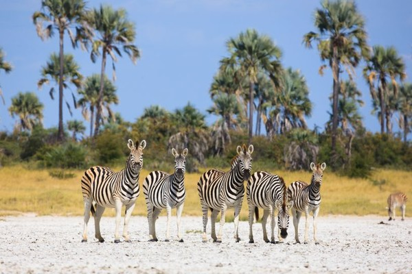 voyage botswana makgadikgadi pans zebres