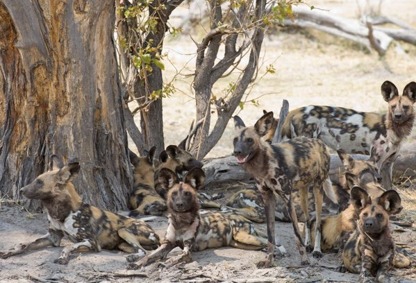 voyage botswana okavango chiens sauvages