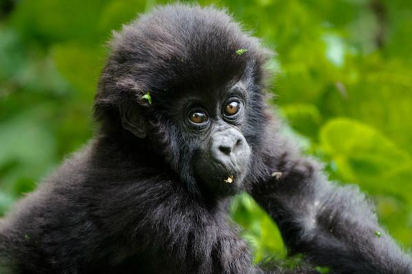 voyage afrique ouganda singe