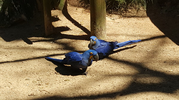 Brésil Voyage aras bleu