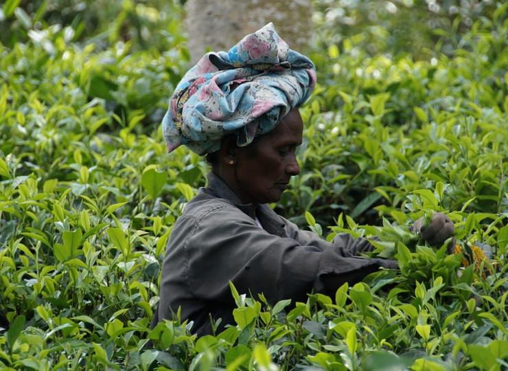 Visites de plantations de thé et d'épices