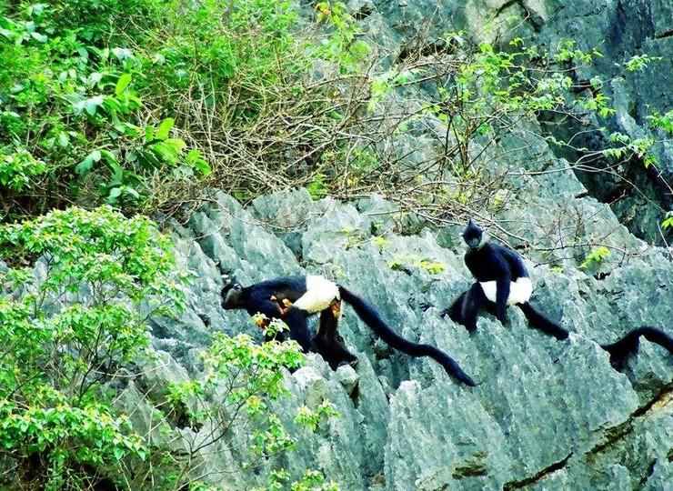 A la découverte du Langur de Delacour dans la réserve naturelle de Van Long