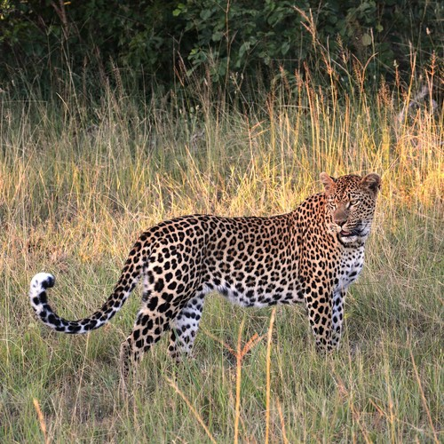 voyage-afrique du sud-leopard