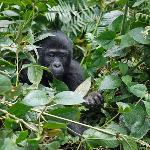 voyage-ouganda-gorille