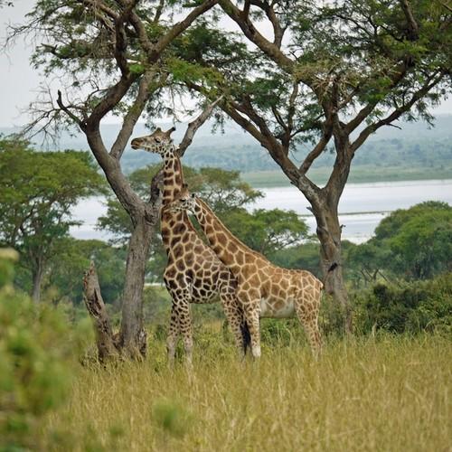 voyage-ouganda-girafes