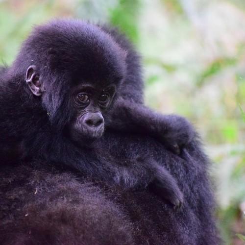 voyage-ouganda-gorilles