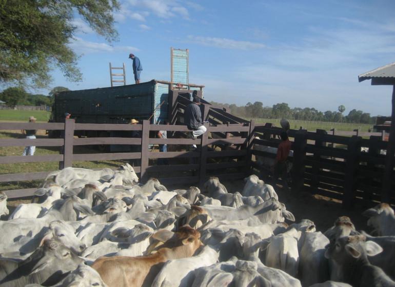 Brésil Voyage Pantanal Fazenda bétail