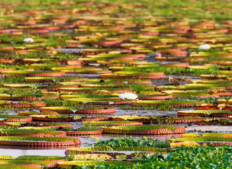 Brésil Voyage Pantanal Waterlilies