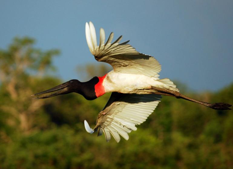 Brésil Voyage Pantanal Barranco Alto marabu en vol