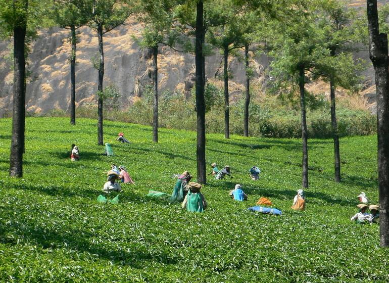 Voyage au Kerala, thé