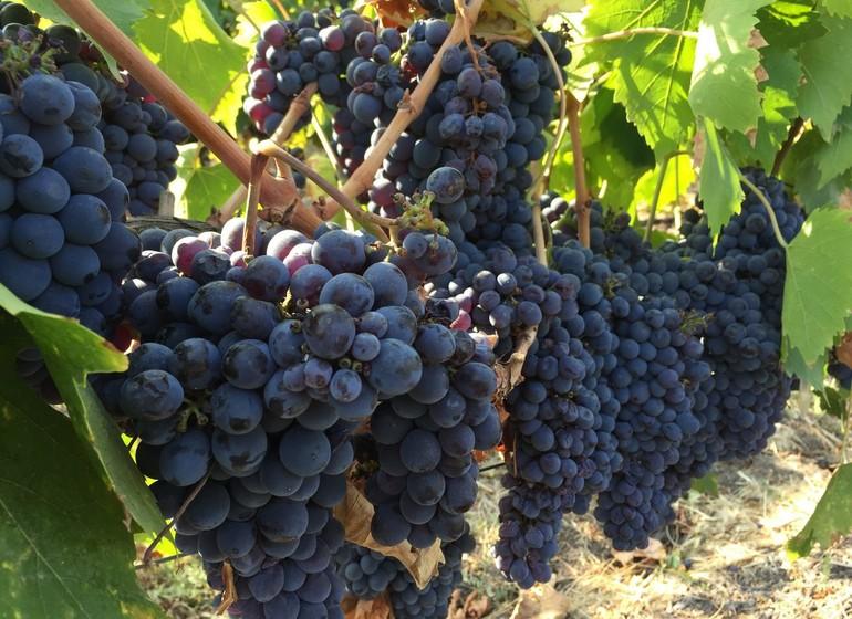 Chili Voyage raisins
