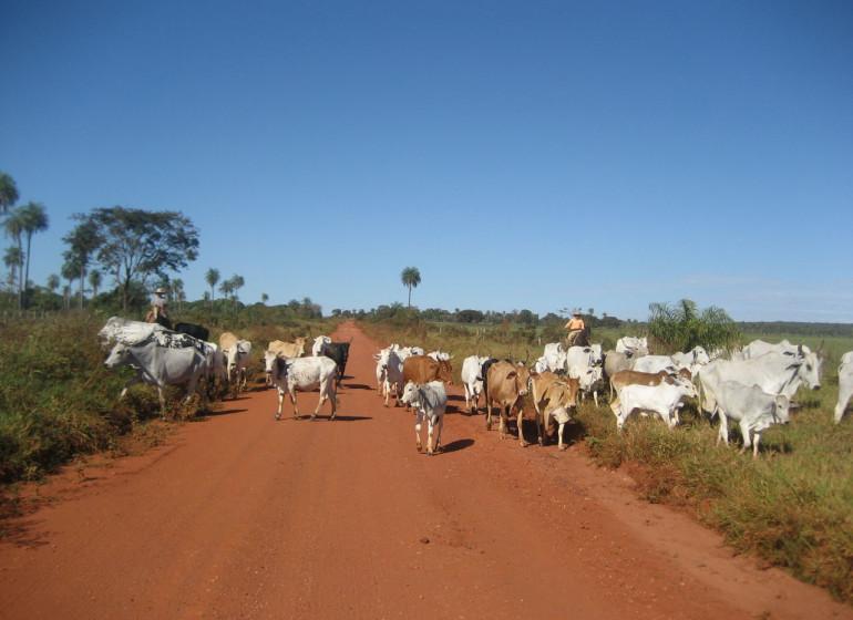 Brésil Voyage Pantanal bétail