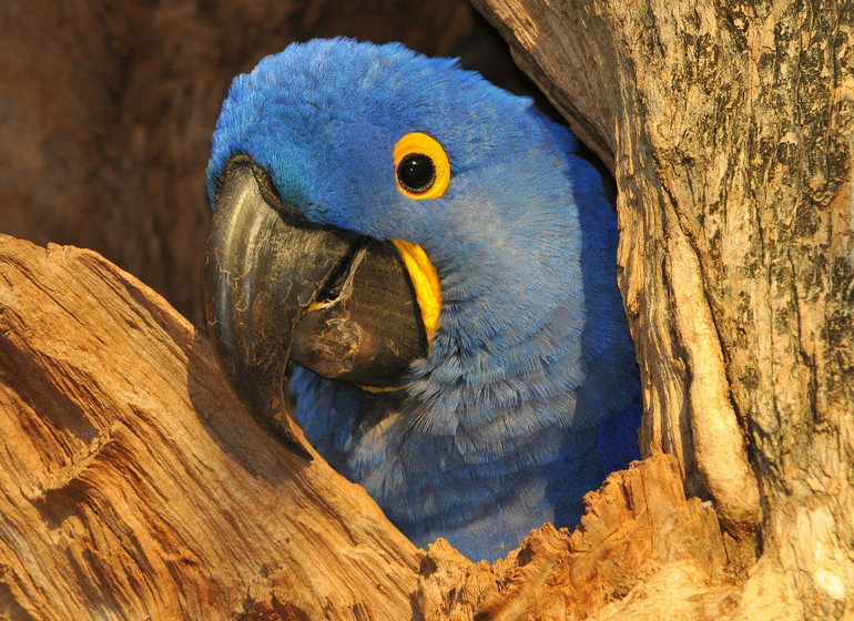 Brésil Voyage Pantanal Barranco Alto Ara bleu