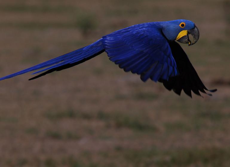 Brésil Voyage Pantanal ara bleu