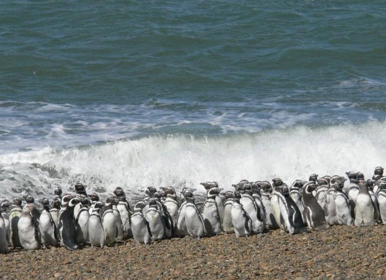 Argentine Voyage Patagonie manchots