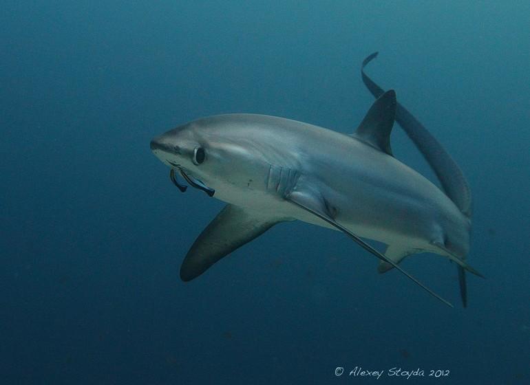 Asie voyage philippines requin renard shark Malapascua plongée