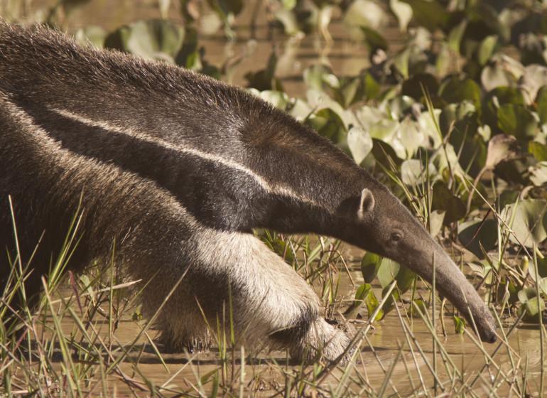 Brésil Voyage Pantanal fourmilier