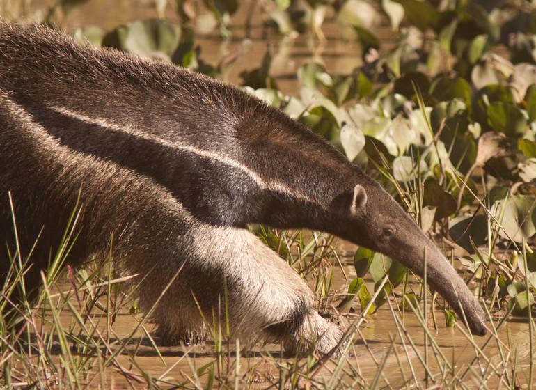 Brésil Voyage Pantanal Caiman Ecolodge anteater