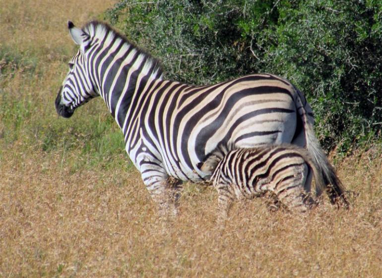 voyage afrique du sud zebres