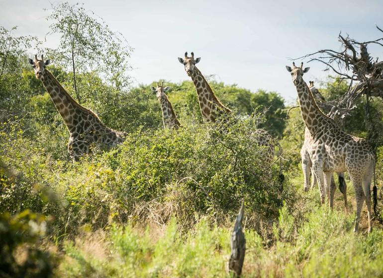 safari botswana girafes