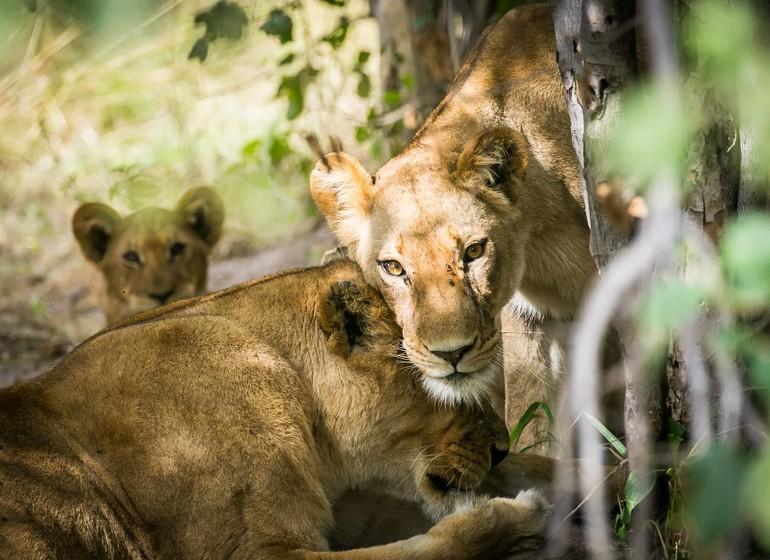 safari botswana lions