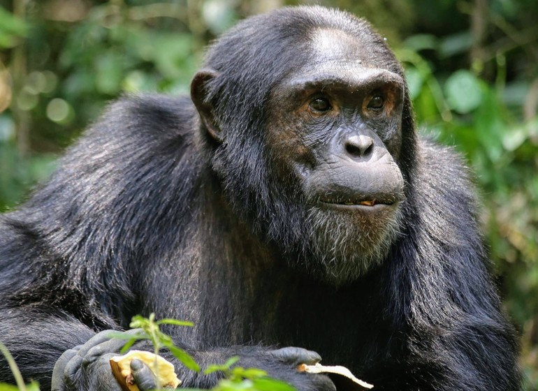 voyage ouganda chimpanzés