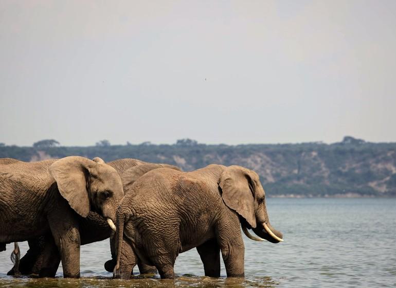 voyage ouganda elephants