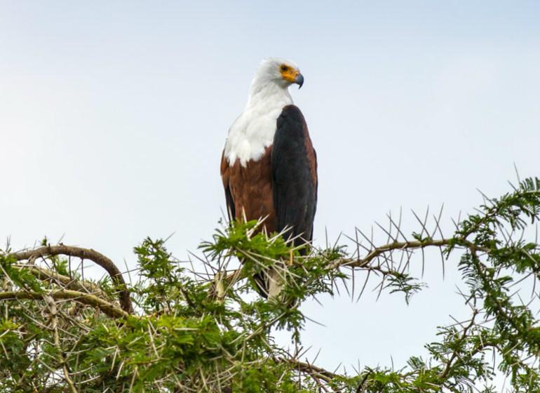 voyage ouganda aigle
