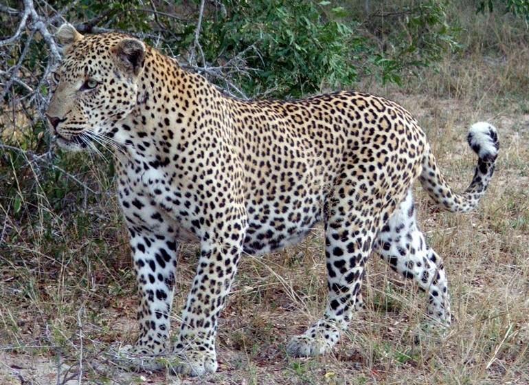 voyage ouganda leopard