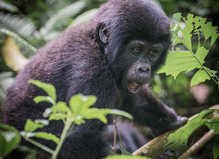 voyage ouganda gorilles