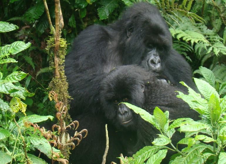 safari gorilles rwanda