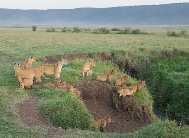 safari tanzanie ngorongoro lions