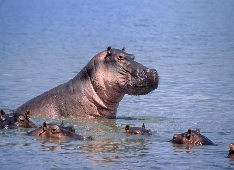 safari tanzanie hippopotames