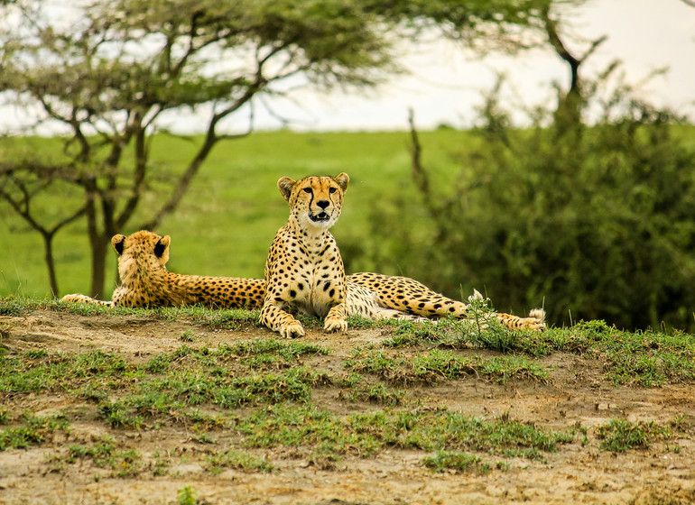safari tanzanie guepards