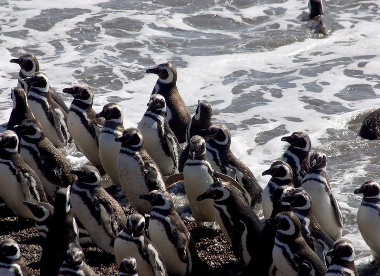 Argentine Voyage Patagonie colonie de manchots