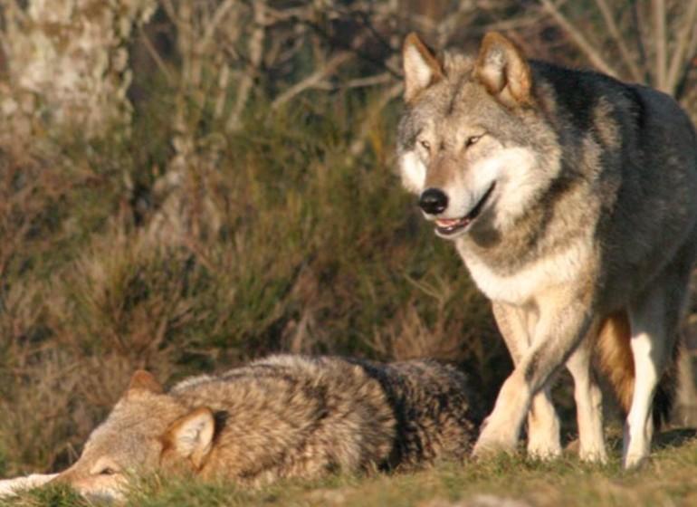 France Loups du Gévaudand