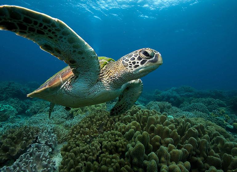 Asie voyage philippines Recif corail Malapascua tortue