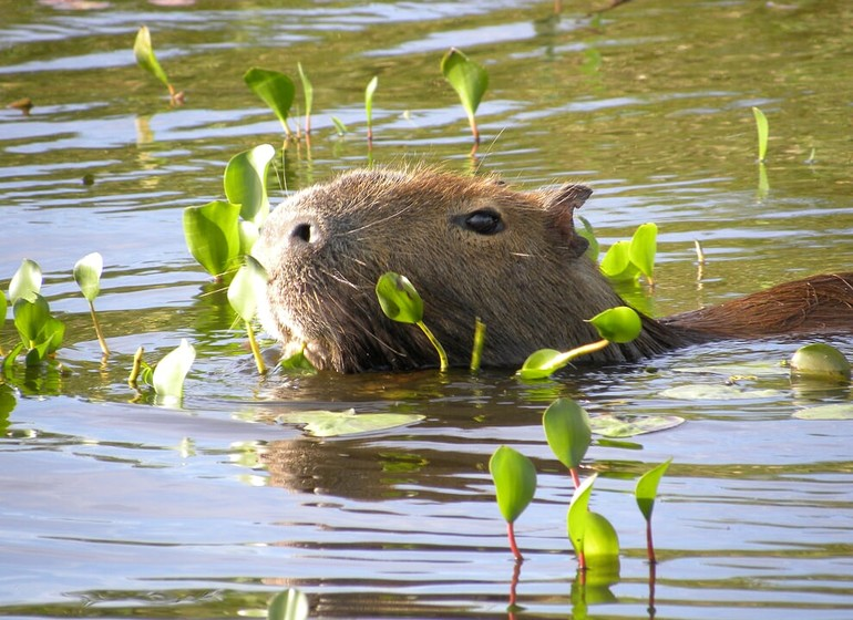 Uruguay Voyage Guardia del Monte capybara