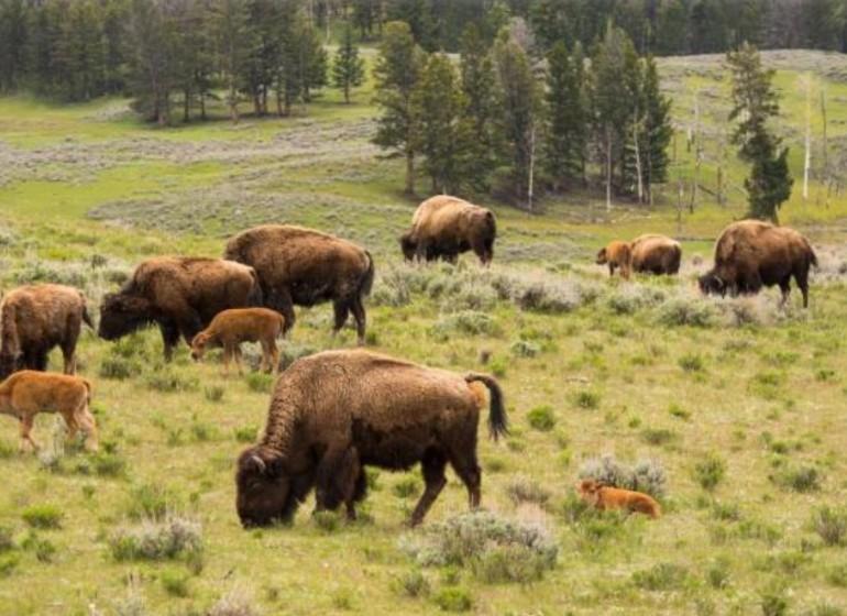 France réserve des bisons d'europe