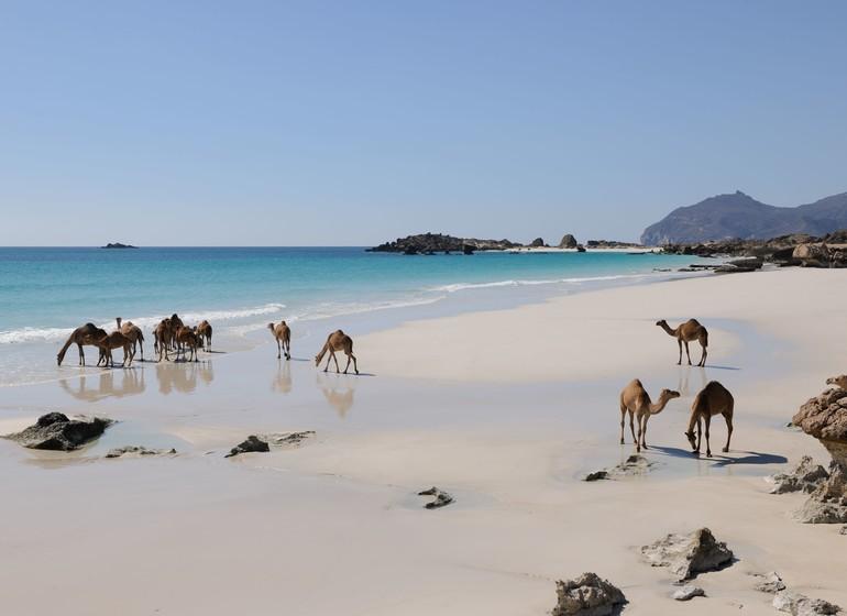 camel dhofar